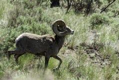 Овцы рожка Kamloops большие стоковое изображение