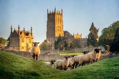 Овцы Cotswold около откалывать Campden в Gloucestershire с церковью в предпосылке стоковые фотографии rf