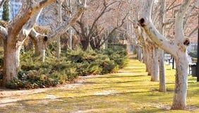 Оглушать, длинный путь выровнянный со старыми деревьями в реальном маштабе времени клена без листьев задрапированных в испанском  стоковые фотографии rf