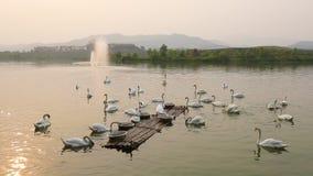 Озеро лебед сток-видео