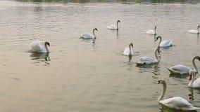 Озеро лебед видеоматериал