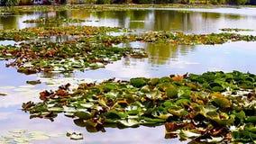 Озеро с лилиями воды Neptun Румынией сток-видео