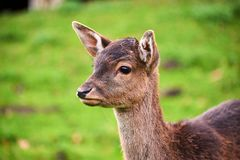 олени в жизни леса стоковое изображение rf