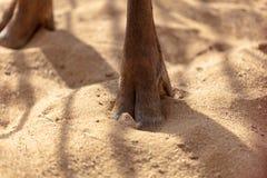 Олени копыта на песке стоковые изображения rf