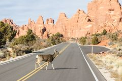 Олени пересекая дорогу стоковое фото