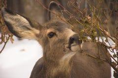 Олени осла в зиме стоковые изображения