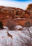 Олень скачет перед утесами песчаника стоковая фотография rf