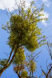 Омела поверх дерева стоковая фотография rf