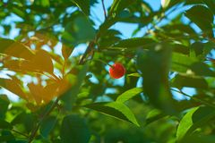Одиночный зрелый плод вишни вися на ветви стоковые фотографии rf