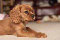 Одиночный рубиновый кавалерийский щенок Spaniel короля Чарльза стоковые изображения rf