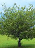 Одиночное дерево визуальное обслуживание, угождая астетически со своим Shapely b? ранчо, листья, и хобот стоковые фотографии rf