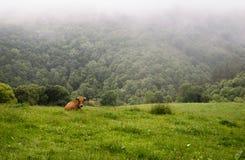 Одна одиночная корова говядины в зеленой траве на ферме стоковое фото rf