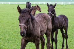Ослята в луге Лошадь Kladrubian стоковая фотография