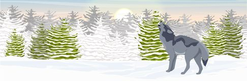Wild wolf howls in a snowy northern valley. spruce forest stock illustration