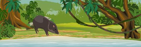One collar peccary drinks water from the lake. Jungle. stock illustration