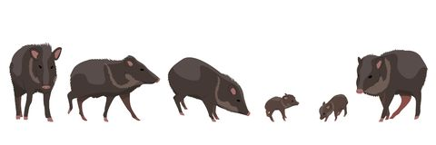 Set wild animals Peccary. Animals of Amazonia stock illustration