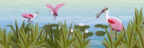 A flock of pink Roseate spoonbill birds in the water. Pond with white water lilies and grass stock illustration