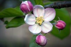 Отверстие цветения Яблока на весна стоковое изображение rf
