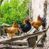Отечественные цыплята идя в задворк и входя в склонную доску в амбар стоковое изображение rf