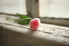 Открытка на день и День матери женщин just rained Розовый тюльпан на старом windowsill стоковая фотография