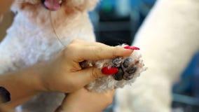 Отделка женщины зооветеринарная когти собаки Bichon Frise в ветеринарной клинике акции видеоматериалы