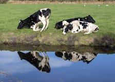 Отражение черных пестрых коров на банке заводи, одно встающ на колени или получающ вверх стоковое фото rf