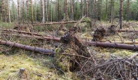 Oönskad storm som besökas i den unga pinjeskogen royaltyfri fotografi