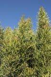Ołówkowa roślina Przeciw niebieskiemu niebu Obrazy Royalty Free