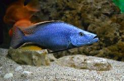 Żołnierz piechoty morskiej dla akwarium ryba Fotografia Royalty Free