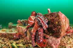 Ośmiornica na rafie podczas algi kwitnie Fotografia Stock