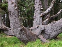 Ośmiornicy drzewo obraz stock