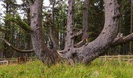 Ośmiornicy drzewo w przylądka Meares stanu parku, LUB zdjęcia royalty free