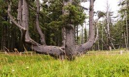 Ośmiornicy drzewo w przylądka Meares stanu parku, LUB fotografia stock