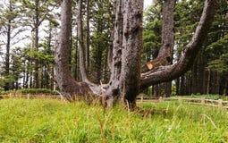 Ośmiornicy drzewo w przylądka Meares stanu parku, LUB obrazy stock