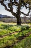 Oświadczenia drzewo w środku winnica Obraz Stock