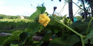 Oświetleniowy żółty kwiat fotografia royalty free