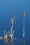 Ożypałka i woda Obrazy Stock