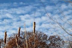 Ożypałki Przeciw Błękitnemu Chmurnemu niebu Obrazy Stock