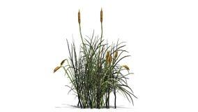 Ożypałki roślina - odizolowywająca na białym tle Obrazy Stock