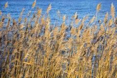 Ożypałki suchej trawy płochy na rzece w śnieżnym zima krajobrazie Obrazy Stock