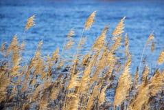Ożypałki suchej trawy płochy na rzece w śnieżnym zima krajobrazie Zdjęcie Stock