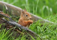 O哇,您得到爱这只逗人喜爱的红松鼠 免版税库存图片