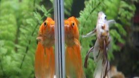 O ¡ de Ð perde-acima de peixes bonitos no aquário Conceito do aquário filme