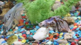 O ¡ de Ð perde-acima de peixes bonitos no aquário Conceito do aquário vídeos de arquivo
