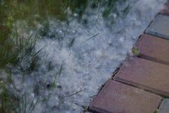 O álamo caído deixa cair o conceito da alergia do tempo de mola do fluff fotografia de stock
