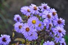 O áster bonito floresce no jardim do verão Imagens de Stock Royalty Free