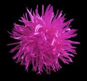 O áster cor-de-rosa da flor, enegrece o fundo isolado com trajeto de grampeamento closeup Fotografia de Stock Royalty Free