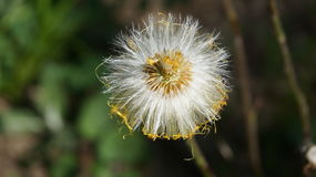 одуванчик. Dandelion with white seeds on the stalk Stock Images