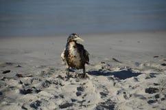 O óleo cobriu a gaivota - poluição Imagem de Stock