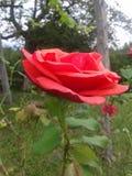 O último aumentou no jardim Fotografia de Stock Royalty Free